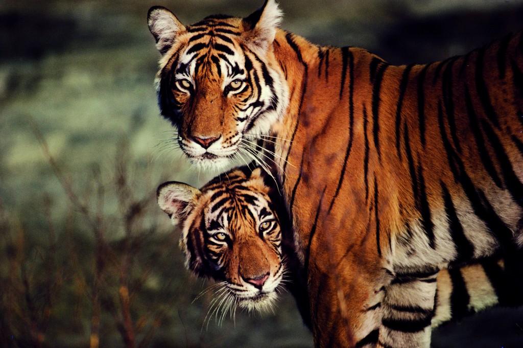 Female Bengal tigress and cub portrait
